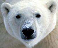 Ursus Maritimus аватар